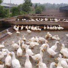 广西养鸭成功秘笈就靠它,养鸭成活率高,养鸭技术服务,养鸭技术指导