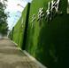 南平1.5厘米围挡草皮销售