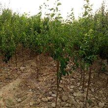 出售3公分蘋果樹占地3公分蘋果樹價格報價供應信息圖片