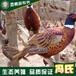 广东冯氏优质七彩山鸡价格野鸡养殖野鸡批发