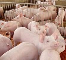 豬吃什么長得快,怎么養豬長得快,豬催肥飼料添加劑,育肥豬催肥專用諸安康圖片