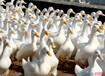 蛋鸭吃什么产蛋多如何增加蛋鸭的产蛋量蛋鸭专用添加剂就用吉蛋多
