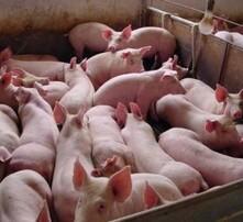 怎么養豬長得快,喂豬吃什么長得快,豬怎么養長得快,豬用催肥飼料添加劑圖片