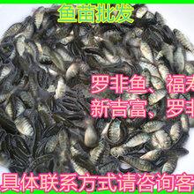 廣東廣州單性羅非魚苗批發價格吉富羅非魚苗出售海大羅非魚苗供應奧尼羅非魚苗批發報價