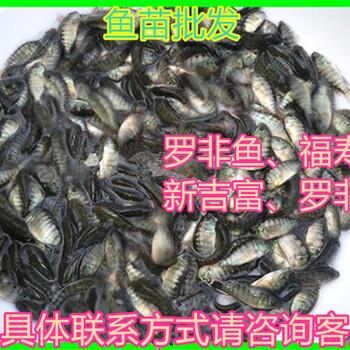 广东广州单性罗非鱼苗批发价格吉富罗非鱼苗出售海大罗非鱼苗供应奥尼罗非鱼苗批发报价