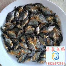 四川成都白鯧魚苗出售紅鯧魚苗/大口鯰魚苗供應/紅大頭魚苗/紅鯉魚苗批發價格