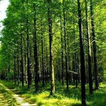 3公分水杉_3公分水杉价格_3公分水杉苗木价格图片