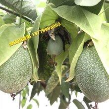 綠皮百香果,綠皮百香果嫁接苗圖片