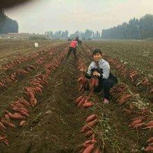 山东烟薯25号脱毒原种红薯苗,西瓜红龙薯九脱毒原种红薯苗图片