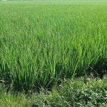 水稻分蘖抗倒撒施肥水稻矮饱丰图片