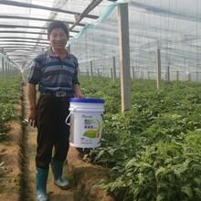 大棚蔬菜如何施肥才能增产大棚蔬菜用微生物菌剂图片