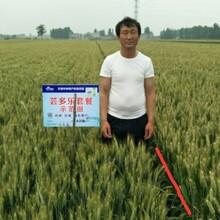 小麦防病高产套餐小麦增产套餐图片