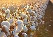 棉花專用葉面肥棉花葉面肥價格