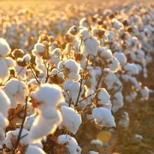 棉花专用叶面肥棉花叶面肥价格图片