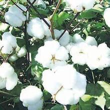 棉花专用叶面肥厂家棉花增产叶面肥介绍图片