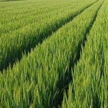小麦专用高产套餐小麦增产套餐图片