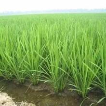 水稻高产套餐芸多乐防病增产套餐效果反馈图片