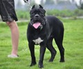 卡斯罗犬猎犬繁育护卫犬卡斯罗工作犬卡斯罗幼犬三个月卡斯罗幼犬多少钱一只