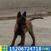 马犬养殖场纯种血统马犬多少钱马犬活体幼犬家养比利时马犬