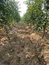 好吃的河陰軟籽石榴基地軟籽石榴樹苗批發零售團購圖片