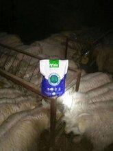 肉羊快速育肥方法羊吃什么长得快图片