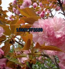 目前3公分樱花价格4公分5公分樱花价格销售价格图片