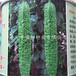 供應雜交苦瓜種子緑天下F1苦瓜種子種苗嫁接苦瓜苗壽光蔬菜種子種苗