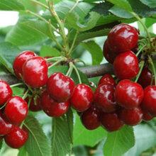 大樱桃批发销售代收大樱桃一件代发店铺商超供应新鲜大樱桃供应单果12g以上图片