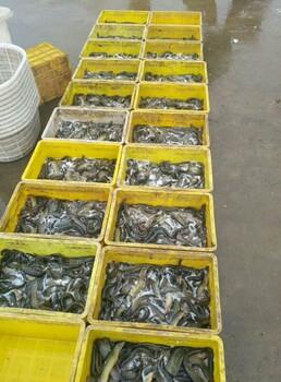台湾泥鳅种苗
