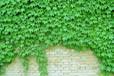 爬山虎種子種苗銷售
