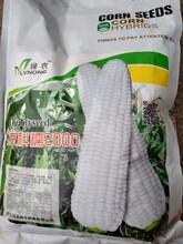 糯玉米种子的价格图片