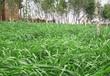 草木犀草籽價格