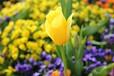 温室花卉种植-郁金香栽培-种植时间-种植方法