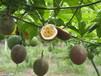 百香果代理--玉林百香果一件代发