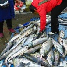 大马哈鱼价格表,大马哈鱼一手批发,大马哈鱼厂家直销图片