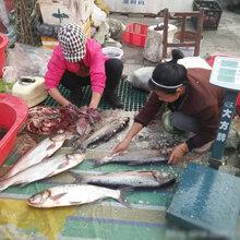 大马哈鱼市场价,大马哈鱼批发价格,大马哈鱼价格图片
