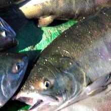 大馬哈魚批發價格冷庫,批發速凍大馬哈魚,冷凍大馬哈魚專營店圖片