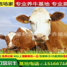 山东省济南市养牛场养牛基地图片