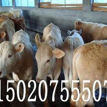 贵州省有养牛场吗西门塔尔牛图片