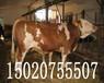 種牛犢價格400斤左右小牛犢價格