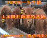 西門塔爾小牛養殖效益