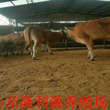 日照出售小牛犊图片