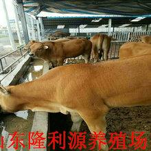四川哪有牛犊卖图片