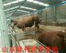 廣西黃牛崽價格