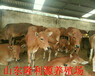 哪種肉牛適合山區放養