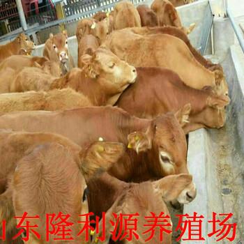 目前肉牛崽价格多少钱一头