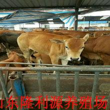 西门塔尔小母牛价格批发价格图片