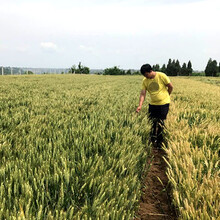 小麦种子(西农805)高抗病种子、生长周期短图片