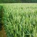 小麦种子(致胜五号)?#20849;?#24615;突出、抗?#21040;?#27700;性强