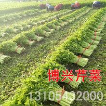 博兴芹菜4月-11月大量上市图片